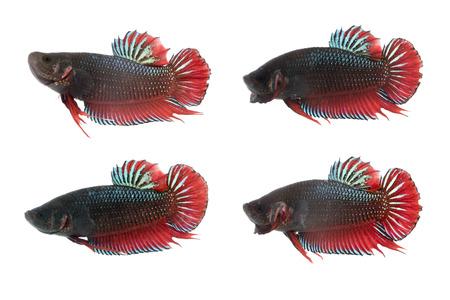 dragon swim: Image of a fighting fish on white background.  (Betta splendens) Stock Photo