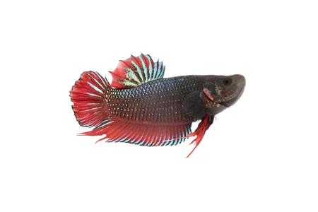 betta: Image of a fighting fish on white background.  (Betta splendens) Stock Photo