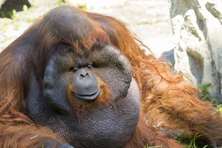 primeval: Image of a big male orangutan orange monkey on natural background. Wild Animals. Stock Photo