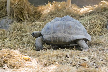 sulcata: Image of a turtle on the ground. (Geochelone sulcata)