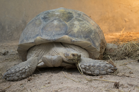 spurred: Image of a turtle on the ground. (Geochelone sulcata)