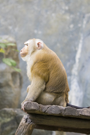 astonish: Image of a brown rhesus monkeys on nature background.