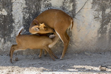 Image of a barking deer on the ground. Wild animals.