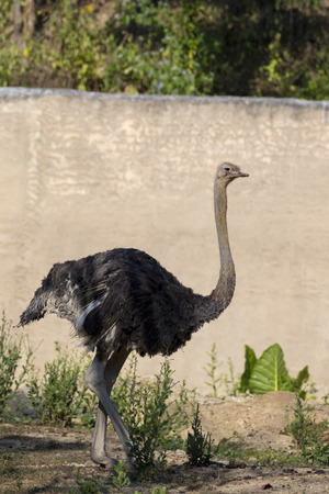 struthio camelus: Image of an ostrich on nature background. Wild Animals. Stock Photo