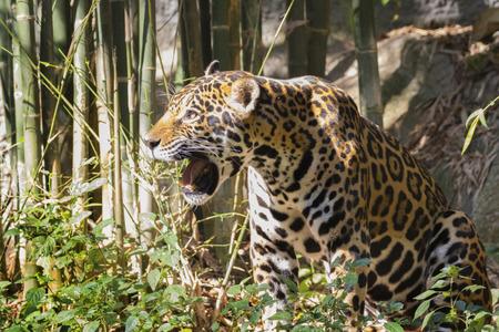 Image of a jaguar on nature background. Wild Animals.