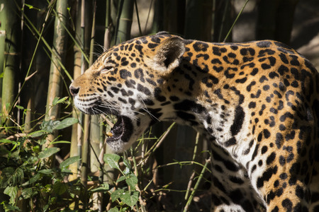 animales silvestres: Image of a jaguar on nature background. Wild Animals.