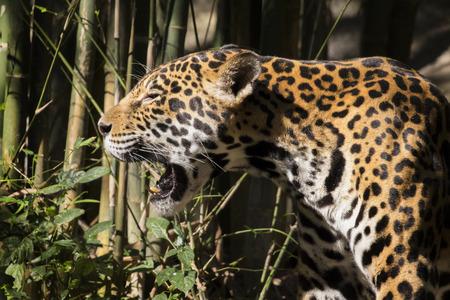 animales silvestres: La imagen de un jaguar en el fondo la naturaleza. Animales salvajes.