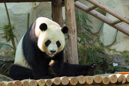 Imagen de un panda en la naturaleza de fondo. Animales salvajes.