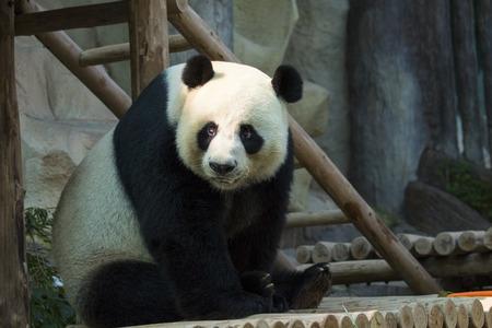 Afbeelding van een panda op de natuur achtergrond. Wilde dieren. Stockfoto