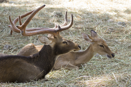 khaoyai: Image of a deers relax on nature background. wild animals.