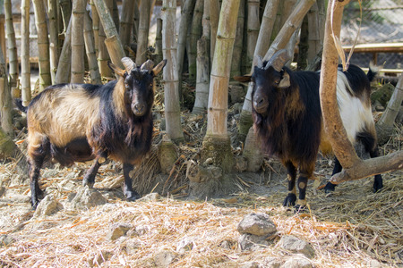 Image of a two goat on nature background. wild animals. Stock Photo