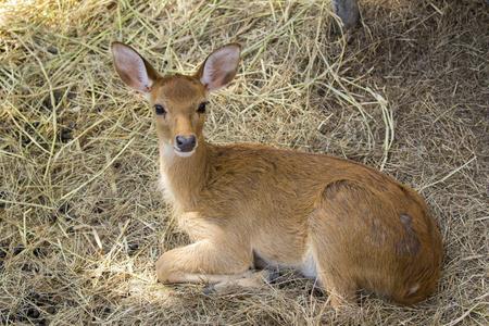 animales silvestres: Imagen de un ciervo relajarse en la naturaleza de fondo. animales salvajes.