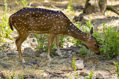 animales del bosque: Imagen de un ciervo chital o manchado en el fondo la naturaleza. animales salvajes.