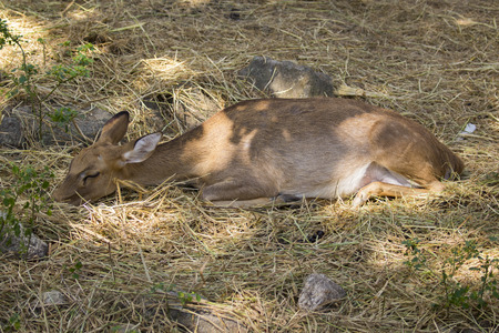 animales silvestres: Image of a deer relax on nature background. wild animals.