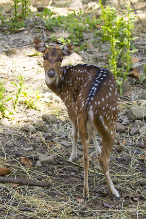 hoofed: Image of a chital or spotted deer on nature background. wild animals.