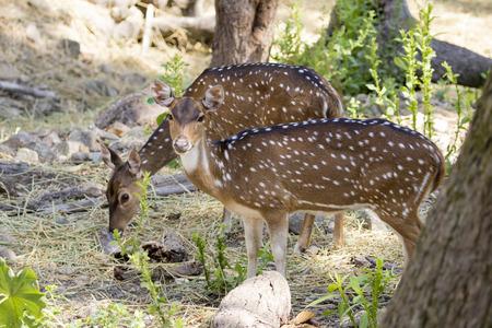 Imagen de un ciervo chital o manchado en el fondo la naturaleza. animales salvajes.