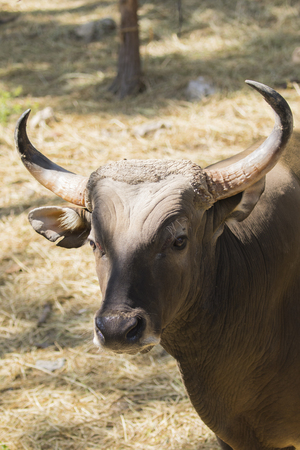 Image of a red bull male on nature background. wild animals. Stock Photo