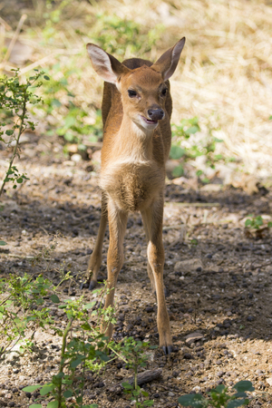 Image of a fawn on nature background. wild animals. Deer Stock Photo