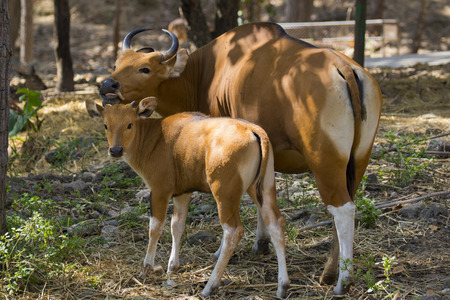 bos: Image of a red bull female and red calf on nature background. wild animals.