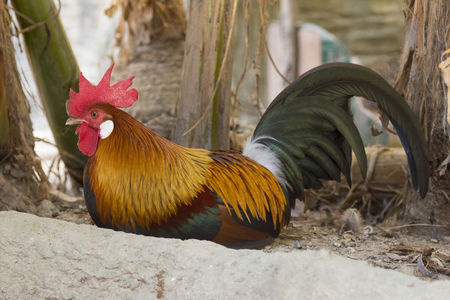 Image of a cock on nature background. Farm Animals.