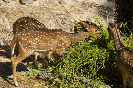 Image of a chital or spotted deer eating grass on nature background. wild animals. Stock Photo