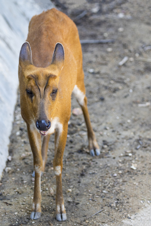 Image of a barking deer on nature background. wild animals. Stock Photo