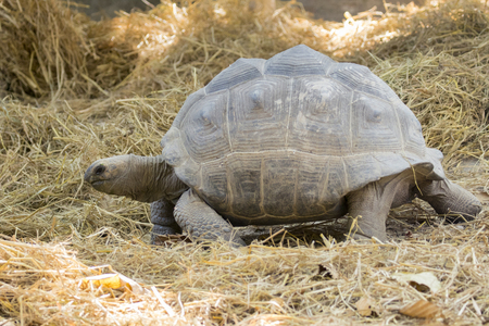 spurred: Image of a turtle on the ground. Wild Animals. (Geochelone sulcata)