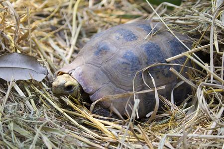 Image of an eastern chicken turtle in thailand. Wild Animals. Stock Photo