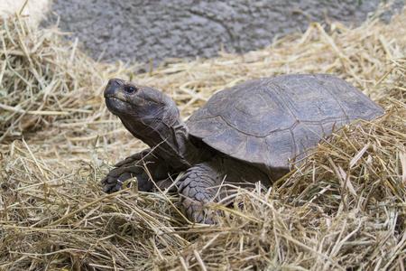 sulcata: Image of a turtle on the ground. (Geochelone sulcata) Reptile.