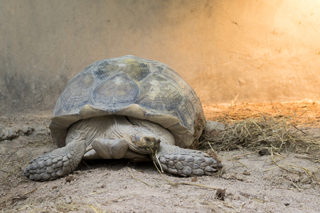 spurred: Image of a turtle on the ground. (Geochelone sulcata) Reptile.