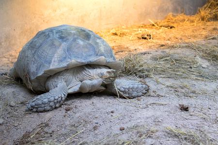 Image of a turtle on the ground. (Geochelone sulcata) Reptile.
