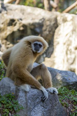 Image of a gibbon sitting on rocks. Wild Animals. Stock Photo