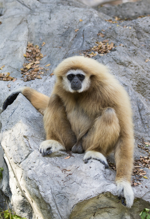 hairy arms: Image of a gibbon sitting on rocks. Wild Animals. Stock Photo