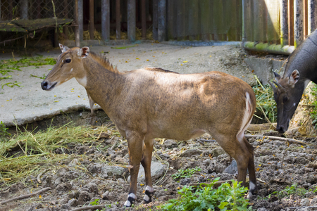 toed: Image of a nilgai or blue bull on nature background. Wild animals.
