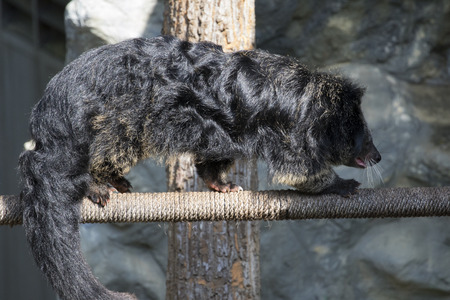 civet cat: Image of a binturong or bearcat walking on rope. Wild animals.