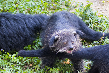 civet cat: Image of a binturong or bearcat  on nature background. Wild animals.