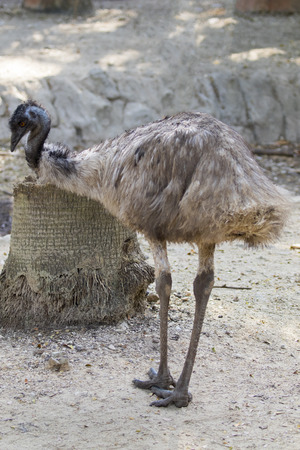 avestruz: Image of a emu on the ground in thailand. Wild Animals.
