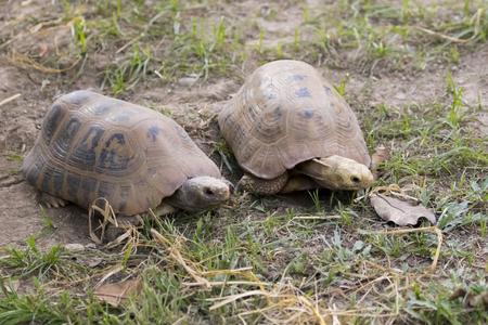 sulcata: Image of a two turtle on the ground. (Geochelone sulcata) Reptile.