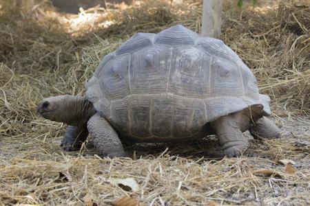 Image of a turtle on the ground. Wild Animals. (Geochelone sulcata)