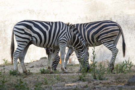 burchell: Image of a zebra on nature background. Wild Animals.