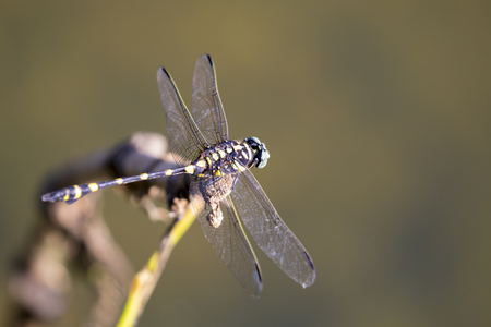 white perch: Image of dragonfly perched on a tree branch on nature background. Insect Animals. Stock Photo