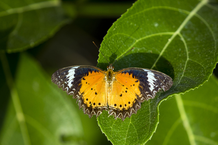 Image of butterfly perched on leaves on nature background. Insect Animals.