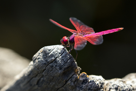 red winged: Image of dragonfly perched on a tree branch on nature background. Insect Animals. Stock Photo