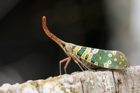 Image of Pyrops candelaria or lantern Fly on nature background. Bug, Insect.
