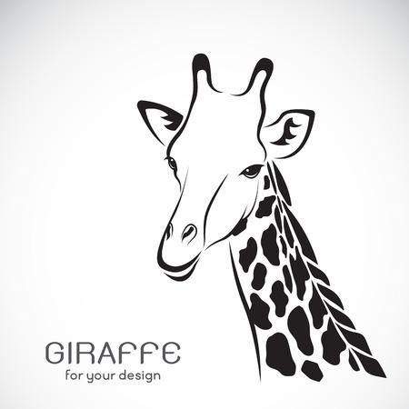 jirafa fondo blanco: Vector de una cabeza de jirafa sobre fondo blanco, animales silvestres.