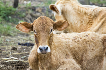 jersey cattle: Image of brown cow on nature background. Farm Animam. Stock Photo