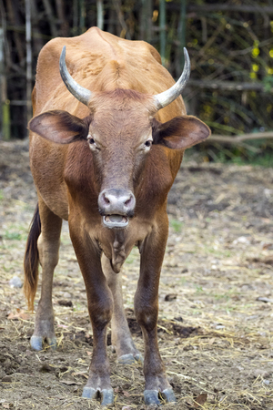 Image of brown cow on nature background. Farm Animam. Stock Photo