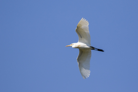 egrets: Image of egret flying in the sky. Heron. Wild Animals. Stock Photo