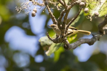 Image of bird on the branch. (Streak-eared Bulbul; Pycnonotus blanfordi) Stock Photo