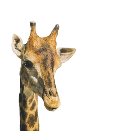 Image of giraffe head isolated on white background. Wild Animal. Stock Photo